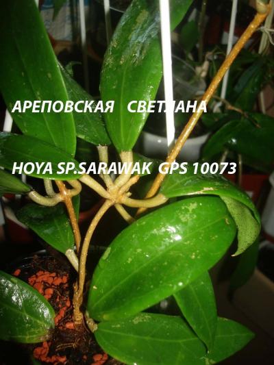Хойя HOYA SP.SARAWAK GPS 10073