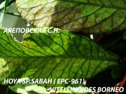 Хойя HOYA SP.SABAH - VITELLINOIDES BORNEO