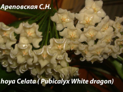 Хойя HOYA PUBICALYX WHITE DRAGON
