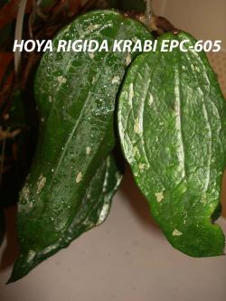 Хойя  Hoya EPC-605