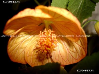 Хойя HOYA  PLATYCAULIS
