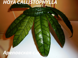 Хойя HOYA CALLISTOPHYLLA LONG LEAVES FORM
