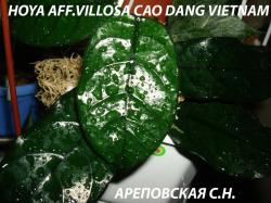 Хойя HOYA AFF.VILLOSA CAO DANG VIETNAM