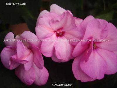 "Бальзамин ""DOUBLE FANSIFUL ORCHID ROSE"""