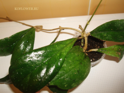 Хойя Hoya sp. very beautiful rare shape leaves EPC-196