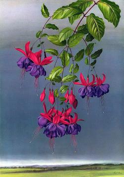 Фуксия BLUE MIRAGE (Bellamy, Don, GB, 1984)