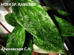 Хойя HOYA SP.RANGSAN