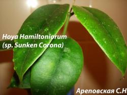 Хойя HOYA SP. SUNKEN CORONA (HAMILTONIORUM)