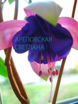 Фуксия BONANZA (Fuchsia-La, USA, 1963)
