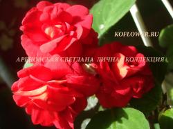 """Бальзамин """"MUSICA RED CRIMSON (MUSICA SERIES)"""""""