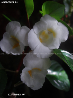 "Бальзамин ""EXOTIC IMPATIENS SP CHUYOS PUNPREUK (IMPATIENS EXOTIC)"""