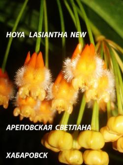 Хойя HOYA LASIANTHA LONG LEAVES ( NEW)