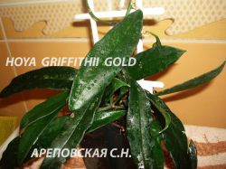 Хойя HOYA GRIFFITHII GOLD FLOWERS (EPC-590)