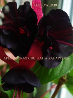Фуксия LADY IN BLACK
