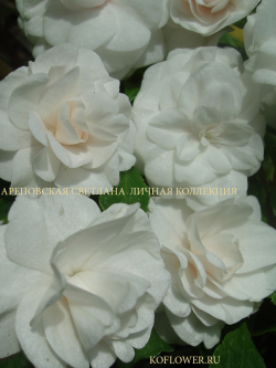 "Бальзамин ""FIESTA WHITE GARDENIA (FIESTA SERIES)"""