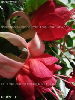 Фуксия GRAND PRIX (Fuchsia-La, USA, 1972)