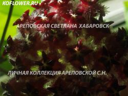 Хойя HOYA MINDORENSIS BORNEO DARK, HAIRY FLOWERS
