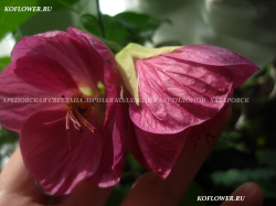 Хойя HOYA PUBICALYX PINK DRAGON