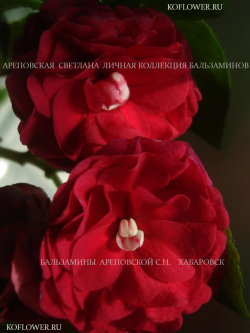 "Бальзамин ""SILHOUETTE CHERRY RED/DIDI CHERED (SILHOUETTE SERIES)"""