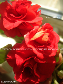 """Бальзамин """"РЯБИНОВЫЙ"""" (условно)"""