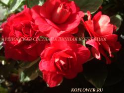 """Бальзамин """"DARK RED ROSE"""""""