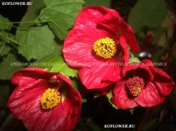 """Бальзамин """"CAROUSEL RUBY WHITE (CAROUSEL SERIES)"""""""