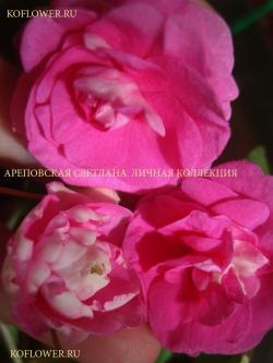 "Бальзамин ""MUSICA BICOLOR PINK DOUBLE (MUSICA SERIES)"""