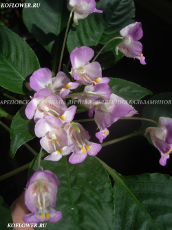 "Бальзамин ""EXOTIC IMPATIENS TUBEROSA-1 FLOWER (IMPATIENS EXOTIC)"""