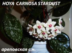 Хойя HOYA CARNOSA STARDUST